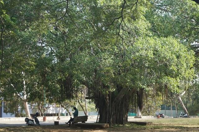 Peepal Tree in SJCE Campus