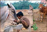 Boy, bull, cow, monkey in an Indian village
