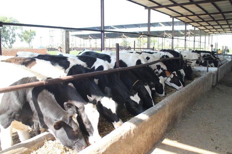 Cows in O'leche Dairy Farms